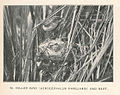 FMIB 43326 Miller Bird (Acrocephalus familiaris) and nest.jpeg