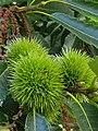 Fagales - Castanea sativa - 5.jpg
