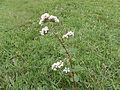 Fagopyrum esculentum RH (1).jpg