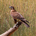 Falco berigora -Alice Springs, Northern Territory, Australia-8.jpg