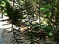 Fale - Giardini Botanici Hanbury in Ventimiglia - 602.jpg