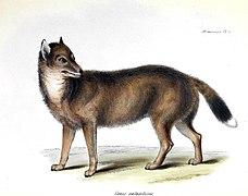 Falkland Islands wolf - Wikipedia