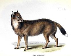 Dessin de 1838 réalisé par G. Waterhouse et Charles Darwin, lors du voyage à bord du Beagle