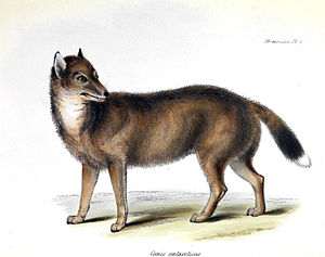 Falkland Islands wolf - Illustration of Dusicyon australis from Zoology of the Voyage of H.M.S. Beagle