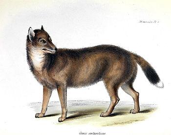 Falklandwolf (Dusicyon australis) (Original de...