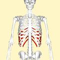 False ribs frontal2.png