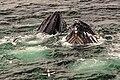 Feeding Humpback Whales, Gerlache Strait, Antarctic Peninsula (25881610742).jpg