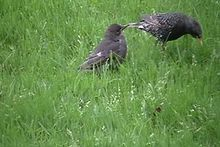 파일:Feeding the young starlings.ogv