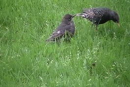 Fájl:Feeding the young starlings.ogv