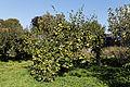 Feeringbury Manor garden pear tree, Feering Essex England.jpg