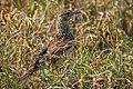 Feldlerche (Alauda arvensis) - Spiekeroog, Nationalpark Niedersächsisches Wattenmeer.jpg