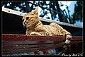Felis silvestris catus (4981063807).jpg