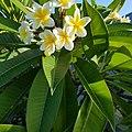 Feuilles et fleurs de frangipanier.jpg