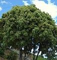 Ficus (Ficus benjamina variegata) (3) (14507800667).jpg