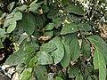 Ficus Sp 22.jpg