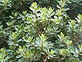 Ficus glumosa, loof en vrugte, a, Tuks.jpg