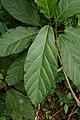Ficus hispida 8413.jpg