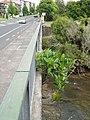 Ficus macrophylla macrophylla Desf. ex Pers. (AM AK309527-1).jpg