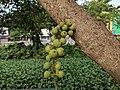 Ficus racemosa 0011.jpg
