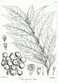 Ficus racemosa Bra49.png