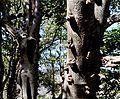 Ficus sansibarica, b, Olifants.jpg