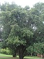 Ficus soatensis 1.JPG