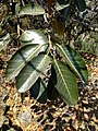 Ficus trigonata.jpg