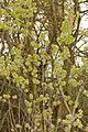Field Elm (Ulmus minor) (26139920961).jpg