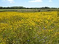 Field of Corn Marigold and Cornflower at Kestle - geograph.org.uk - 890321.jpg
