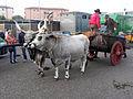 Fieracavalli 2014 - Buoi maremmani2.jpg