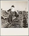 Filipino crew of fifty-five boys cutting and loading lettuce. Imperial Valley, California.jpg