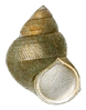 a drawing of an apertural view of ovate conic shell
