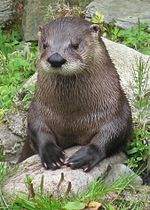 File:Fingal the Otter (2789770529).jpg