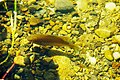 Fish swimming in Lake Sawyer 01-increased contrast.jpg