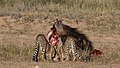 Five cheetahs were feeding on a Springbok kill one morning in the Kgalagadi. (33695262784).jpg