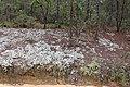 Flat Tub Wildlife Management Area Rocky Hammock Ldg Rd reindeer moss a.jpg