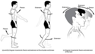 Anatomical terms of motion - Flexion and extension