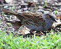 Flickr - don macauley - Dunnock.jpg