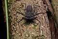Flickr - ggallice - Tail-less whip scorpion.jpg