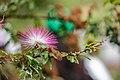 Flor caliandra rosa.jpg