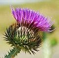 Flor de Cardon - Onopordum acanthium.jpg