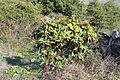 Flora della Sardegna 174 (1).JPG