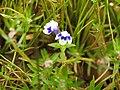 Flora from Madayipara DSCN2607.jpg