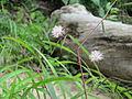 Flora nas margens da Cachoeira da Velha.JPG