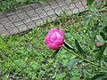 Flower 13 (6825044320).jpg