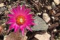 Flower as Big as the Cactus.jpg