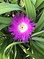 Flower of Cleretum bellidiforme 20190420.jpg