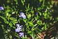 Flowers-purple-garden-plant (24243235101).jpg