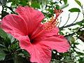 Flowers Nepal 9922.JPG