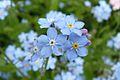 Flowers in Romanowo, Krowiarki (4).JPG